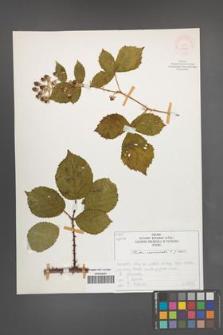 Rubus nemoralis [KOR 51942]
