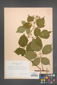Rubus nemoralis [KOR 30771]