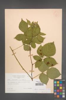 Rubus nemoralis [KOR 54017]