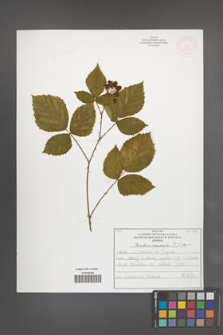 Rubus nemoralis [KOR 51935]