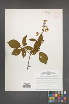 Rubus nemoralis [KOR 51929]