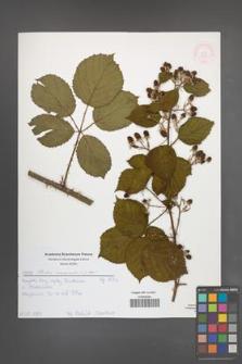 Rubus nemoralis [KOR 51993]