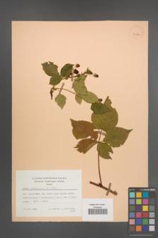Rubus nessensis [KOR 30021]