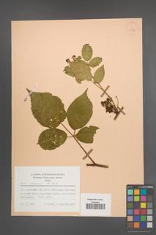 Rubus nessensis [KOR 25530]