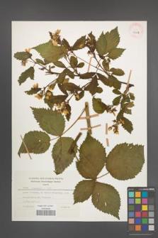 Rubus nessensis [KOR 30023]