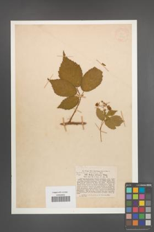 Rubus obliquus [KOR 18531]