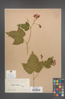 Rubus odoratus [KOR 2714]
