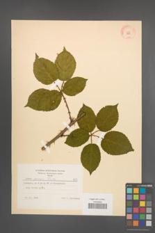 Rubus opacus [KOR 8959]