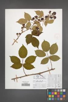 Rubus opacus [KOR 52030]
