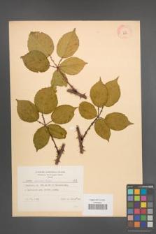 Rubus opacus [KOR 8958]