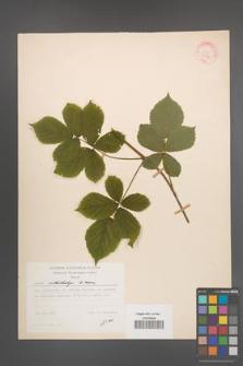 Rubus orthostachys [KOR 30736]