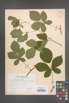 Rubus orthostachys [KOR 30719]