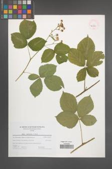 Rubus orthostachys [KOR 46239]