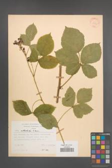 Rubus orthostachys [KOR 30725]