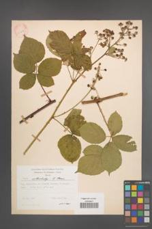 Rubus orthostachys [KOR 30727]