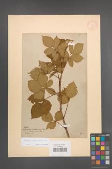 Rubus orthostachys [KOR 11030]