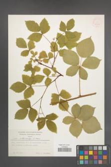 Rubus orthostachys [KOR 24836]