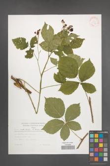 Rubus orthostachys [KOR 30544]