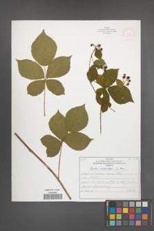 Rubus orthostachys [KOR 52189]
