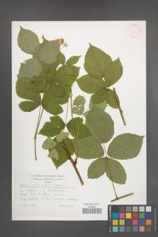 Rubus orthostachys [KOR 30497]
