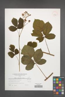 Rubus orthostachys [KOR 39623]