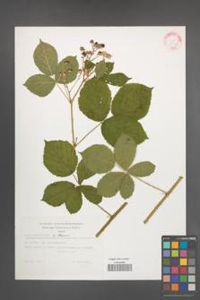 Rubus orthostachys [KOR 32341]