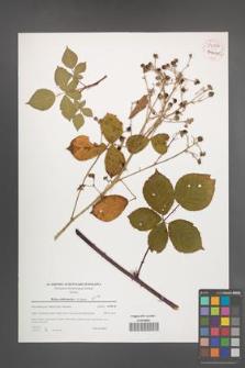 Rubus orthostachys [KOR 54067]