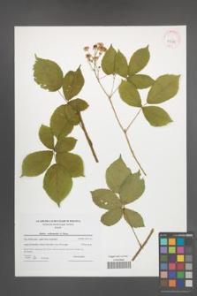 Rubus orthostachys [KOR 42386]