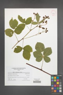Rubus orthostachys [KOR 42099]
