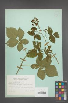 Rubus orthostachys [KOR 23854]