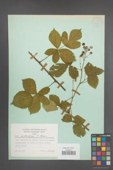 Rubus orthostachys [KOR 23744]