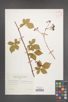 Rubus orthostachys [KOR 25709]