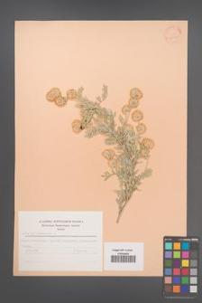 Anthyllis barba-jovis [KOR 23072]