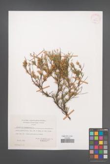 Anthyllis hermanniae [KOR 27661]