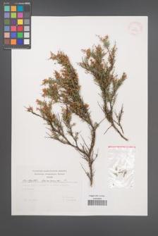 Anthyllis hermanniae [KOR 29641]