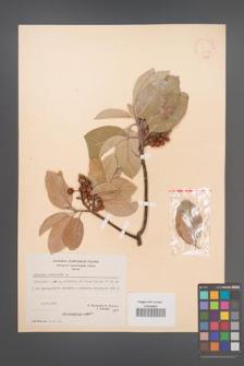 Arbutus andrachne [KOR 21076]