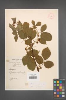 Rubus nessensis [KOR 10858]