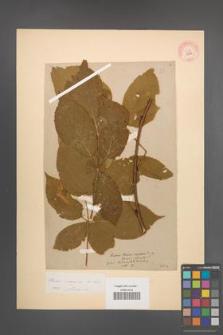 Rubus nessensis [KOR 10852]