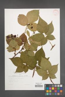 Rubus nessensis [KOR 30546]