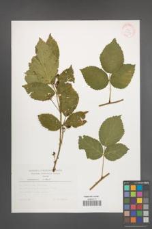 Rubus nessensis [KOR 30442]