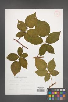 Rubus nessensis [KOR 31173]