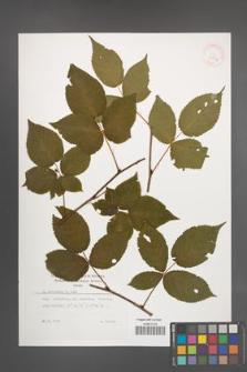 Rubus nessensis [KOR 29894]