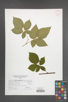 Rubus nessensis [KOR 42197]
