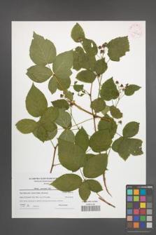Rubus nessensis [KOR 42246]
