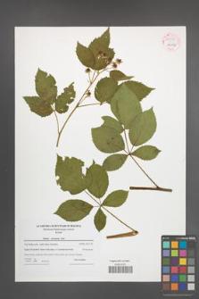 Rubus nessensis [KOR 54082]