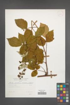 Rubus montanus [KOR 30745]