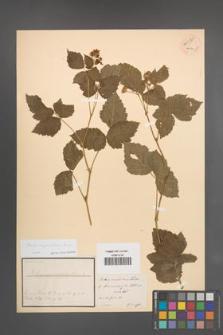 Rubus corylifolius [KOR 54085]