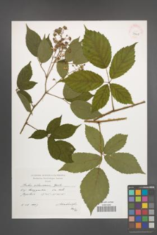 Rubus ostroviensis [KOR 39068]