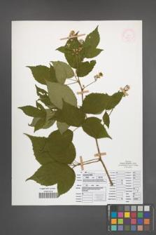 Rubus ostroviensis [KOR 51921]