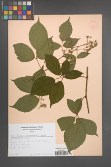 Rubus ostroviensis [KOR 52608]